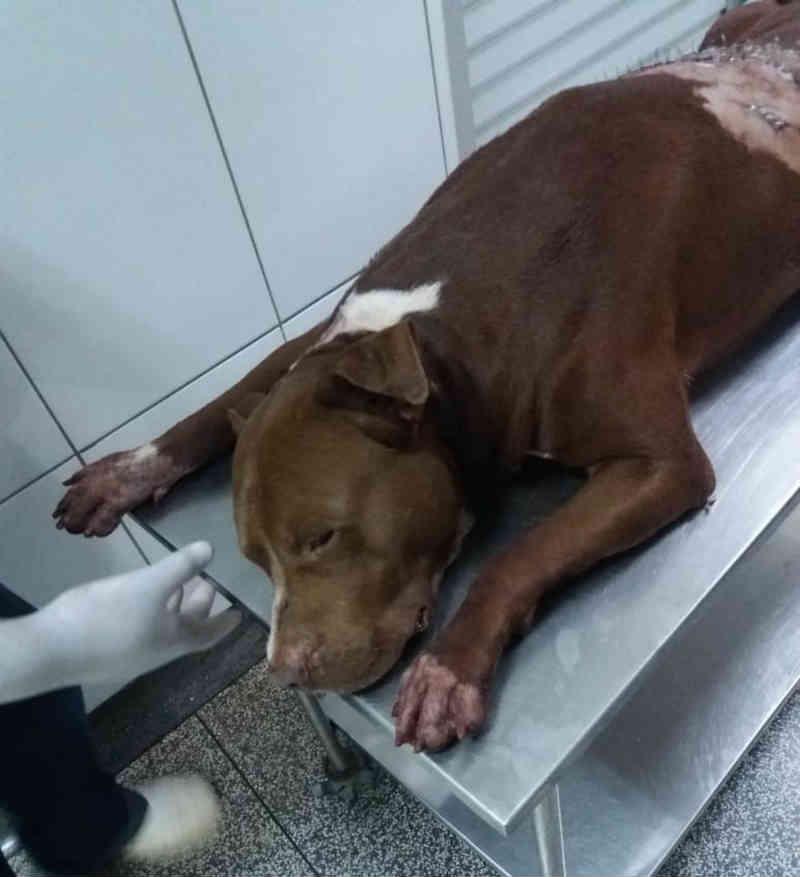 Pit bull morre em clínica após ser atingido com golpes de facão ao entrar em casa de homem no Acre