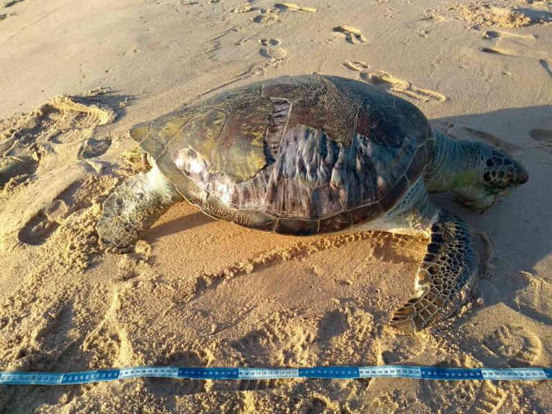 Tartaruga-verde é encontrada morta na Praia de Jacarecica, em Maceió, AL