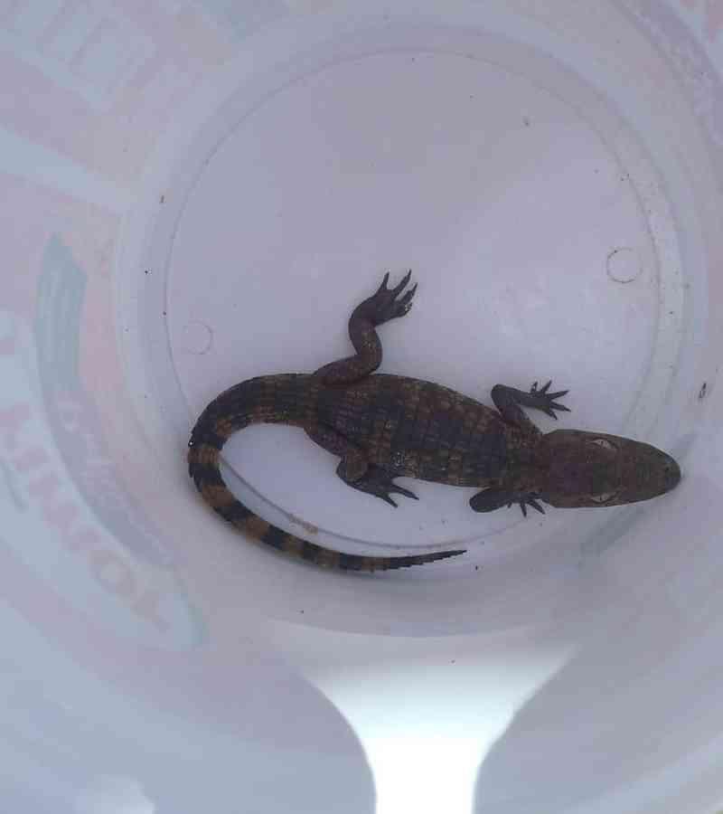 Homem coloca jacaré em balde ao encontrar animal na praia do Saco, em Marechal Deodoro, AL