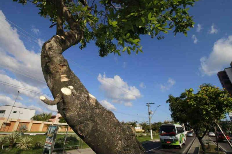 Árvores usadas por periquitos na av. Efigênio Salles são podadas para evitar morte de aves, em Manaus