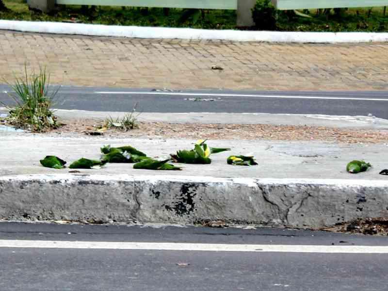 Órgãos realizam ação de conscientização para evitar mortes de periquitos em avenida de Manaus