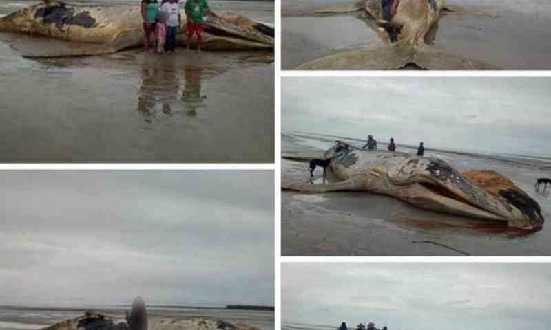 Pesquisadores confirmam primeiro caso de encalhe de baleia em arquipélago do AP