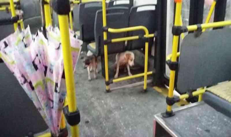 Motorista encosta e permite que dois cães de rua subam no ônibus durante chuvas fortes