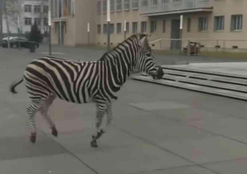Zebras em fuga obrigam a safari em cidade alemã
