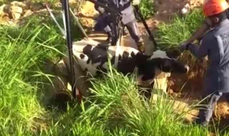 Vaca fica presa em vala com 2 metros de profundidade e é resgatada por bombeiros na Bahia