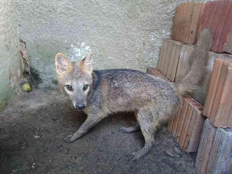 Raposa foi encontrada por moradores no centro de Itamaraju — Foto: Grupo de Apoio ao Desenvolvimento Social