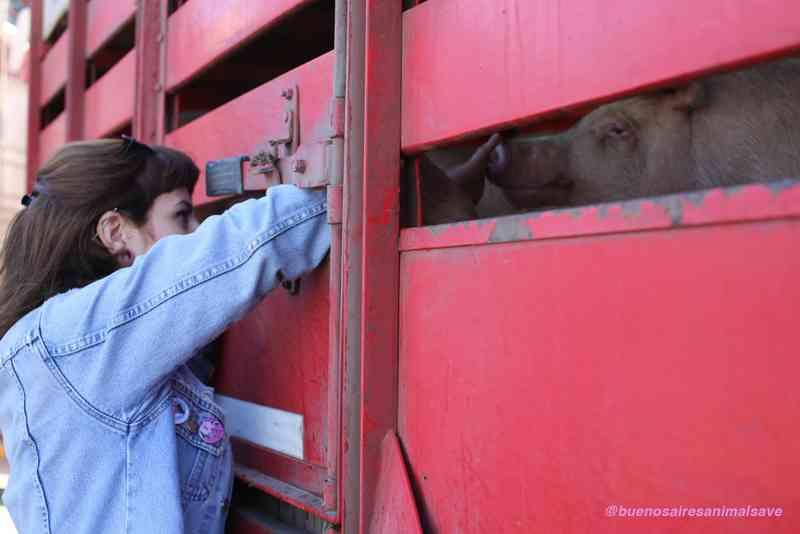 Ativistas se reúnem na Bolívia para dar carinho a animais que vão para abate