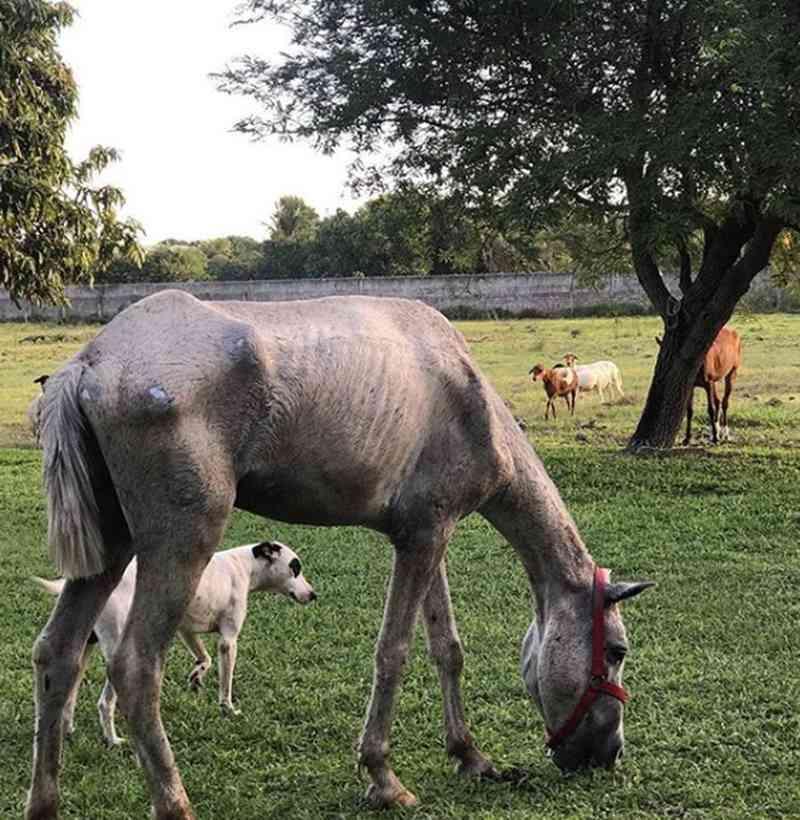 Cavalo encontrado agonizando em Fortaleza (CE) foi sacrificado; animal tinha bala alojada no crânio