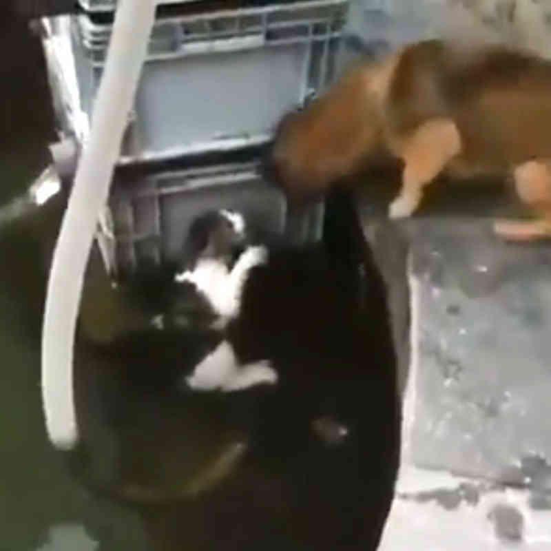 Cachorrinho herói mergulha na água para salvar gato; vídeo