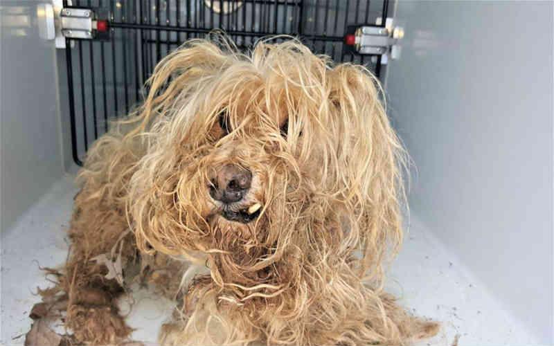 Cadela negligenciada mal se parecia com um cachorro, até que resgatistas mudaram sua vida!