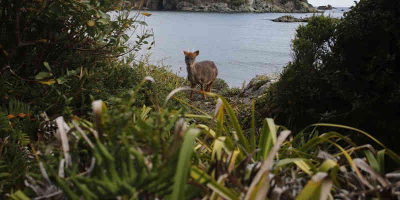 Imagens de maus-tratos e morte de um pudu são registradas na Região dos Rios, no Chile