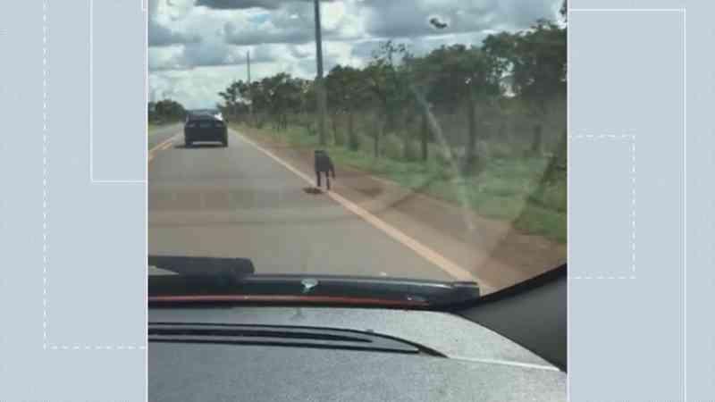 Vídeo: cachorro abandonado por tutor corre atrás de carro para ser resgatado no DF