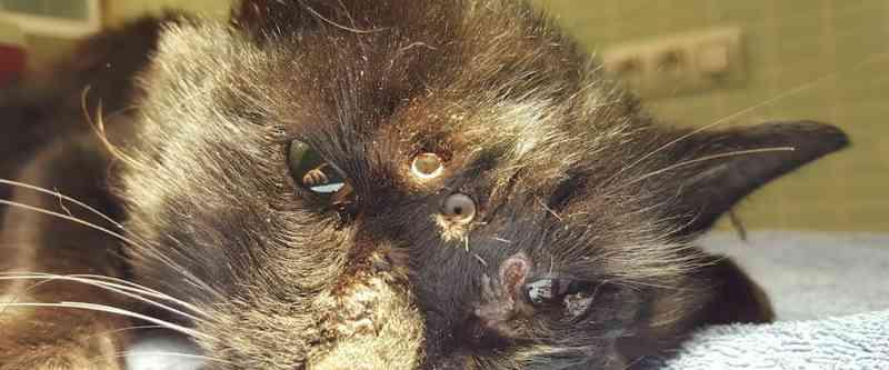 Gato sobrevive a disparo de 18 tiros de chumbinho na cabeça, na Espanha
