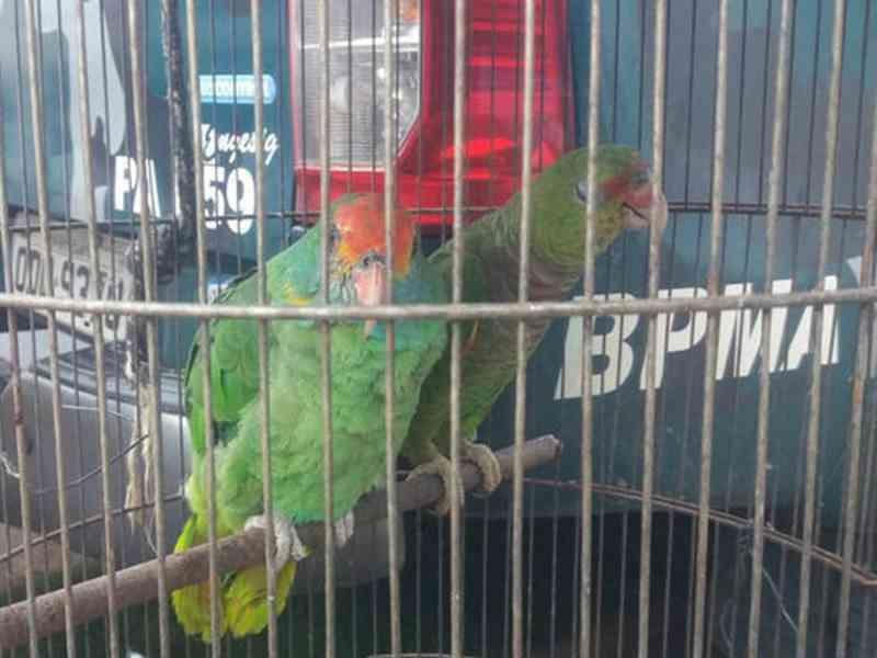 Operação apreende 269 pássaros e autua 64 pessoas no Espírito Santo