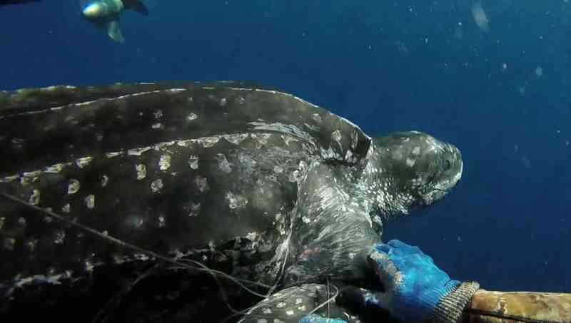 Resgate de tartaruga-de-couro chama atenção para condição dos mares