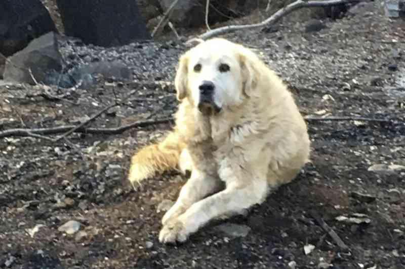 Cão que sobreviveu a incêndios esperou a tutora voltar para a casa destruída