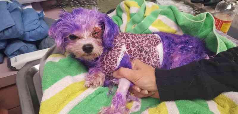 Cachorro quase morre após ter pelos pintados com tintura de uso humano
