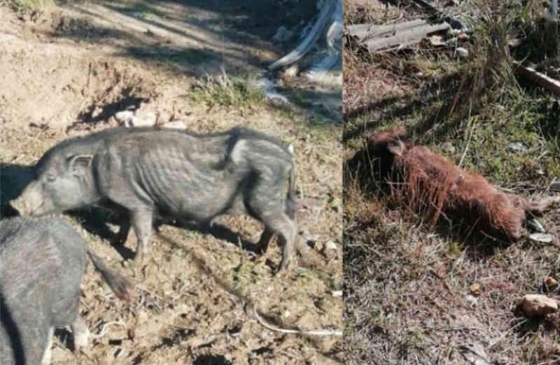 Caso de maus-tratos a animal na Espanha tem saldo de vários porcos mortos e uma denúncia no Tribunal