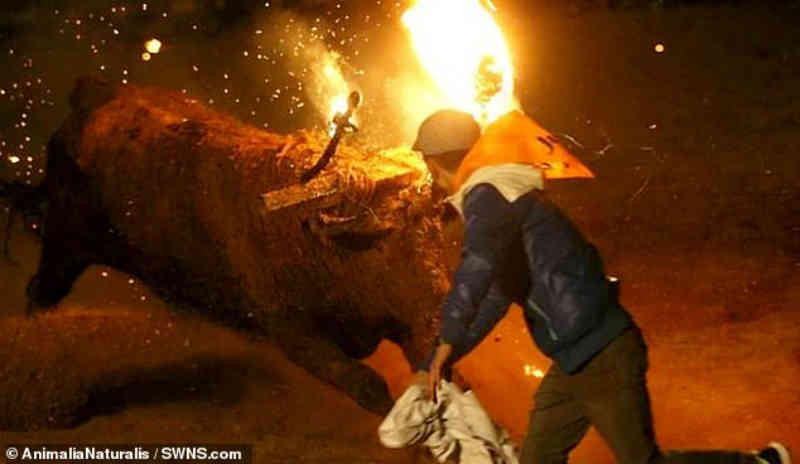 Touro se espanta aterrorizado enquanto seus chifres são amarrados a estacas de madeira em chamas em filmagem chocante do festival espanhol
