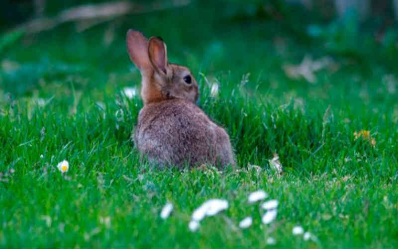 Assassino em série de coelhos já matou cerca de 100 animais na França