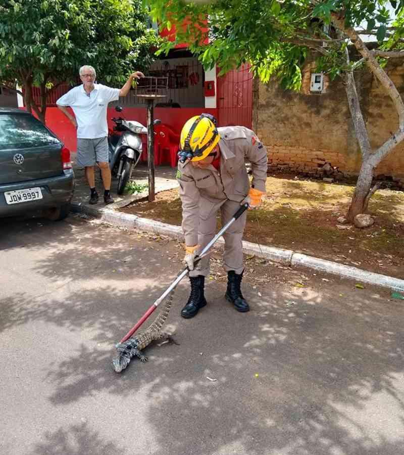 Corpo de Bombeiros é acionado várias vezes para resgate de animais em Morrinhos, GO. Desta vez um lagarto teiú.