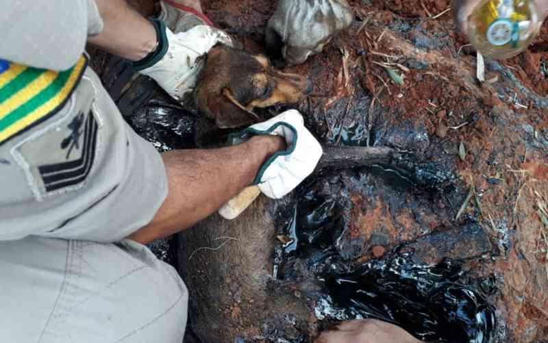 Cachorro é resgatado pelos bombeiros preso a poça de piche em Senador Canedo, GO