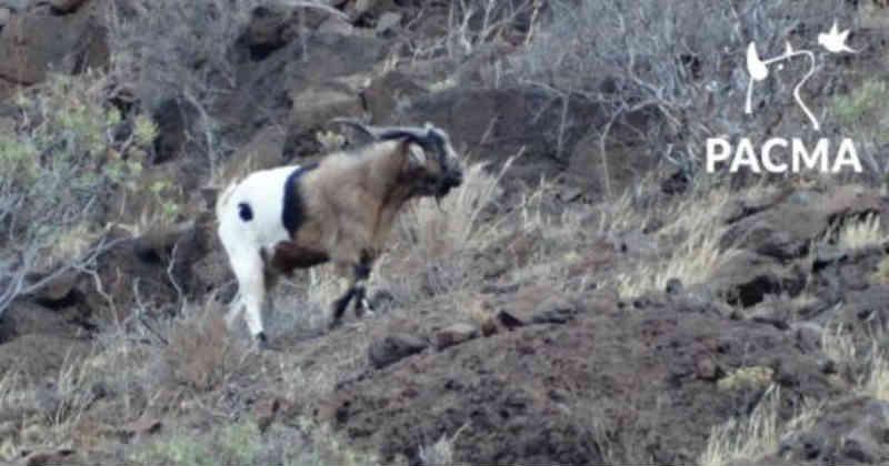 Espanha: governo das Ilhas Canárias autorizará a morte de qualquer animal que viva em liberdade