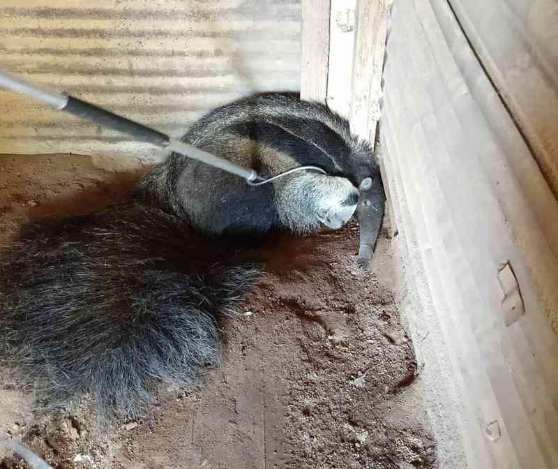 Animal foi capturado em uma fazenda — Foto: Corpo de Bombeiros/Divulgação