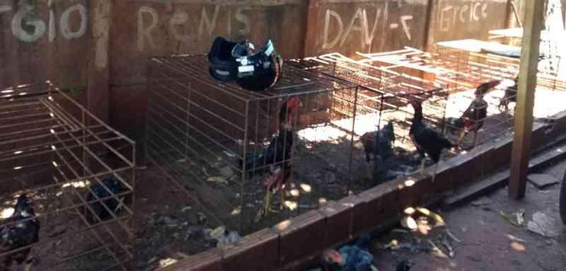 Após denúncia, grupo é flagrado em rinha de galos em Ituiutaba, MG