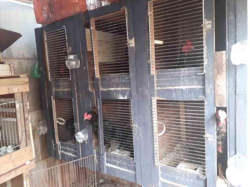 Mais uma rinha de galo é fechada pela polícia em Ituiutaba, MG