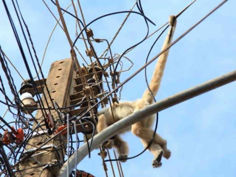 Macaco-prego fica 4 dias em pé de manga, foge e morre eletrocutado em Campo Grande, MS