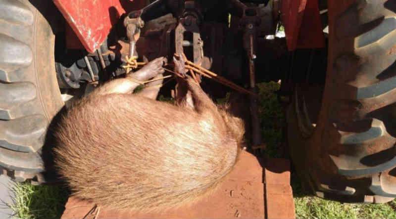 PMA de Costa Rica (MS) autua dois em fazenda com capivara que tinham acabado de abater a tiros em trator