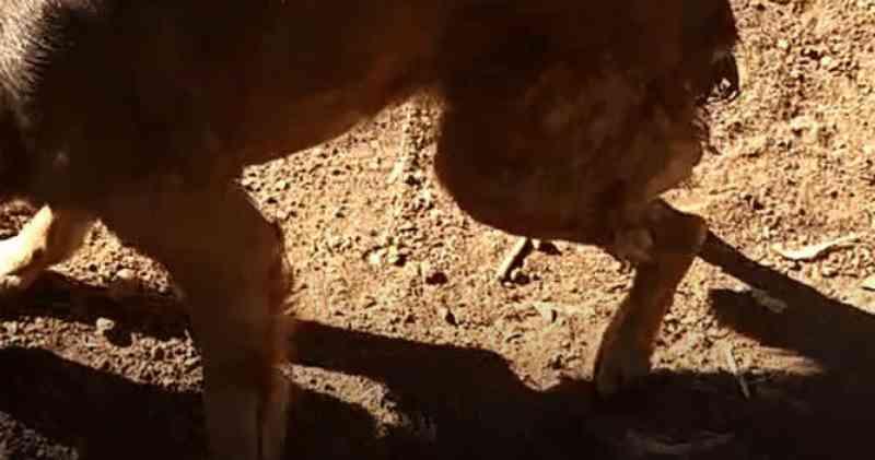 Homem é preso após cortar cauda de cachorro com uma pedra em MS