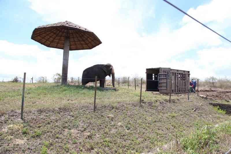 Rana vai viver no Santuário dos Elefantes em MT — Foto: Santuário de Elefantes Brasil (SEB)/ Divulgação