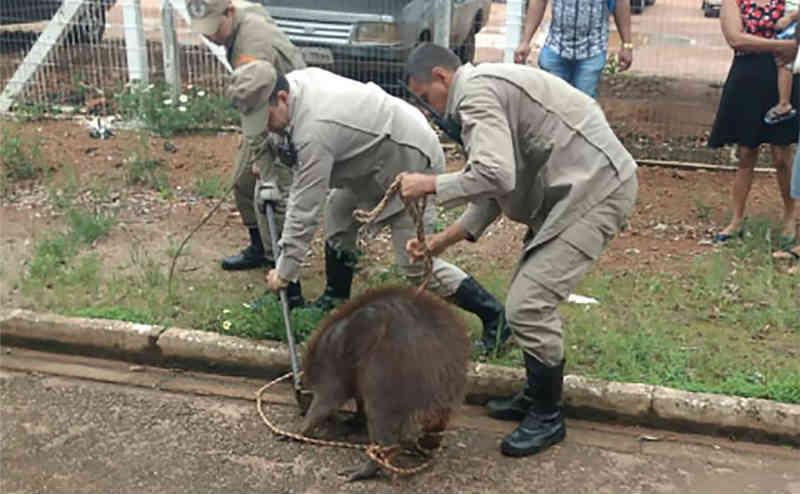 Capivara é capturada por bombeiros no quintal de residência em Colíder, MT