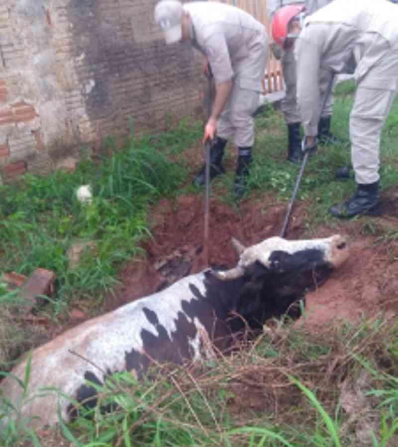 Vaca solta na rua cai em buraco e é resgatada pelo Corpo de Bombeiros em Várzea Grande, MT