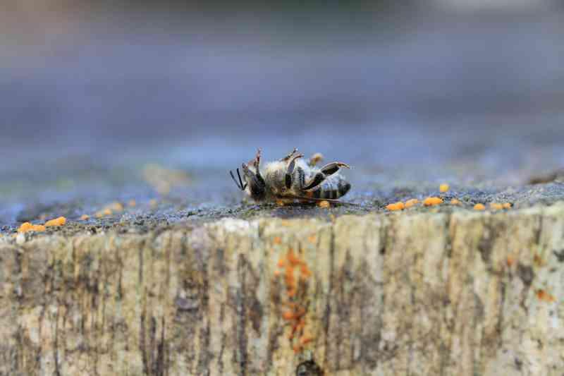 Agrotóxico mais usado no mundo está ajudando a exterminar abelhas