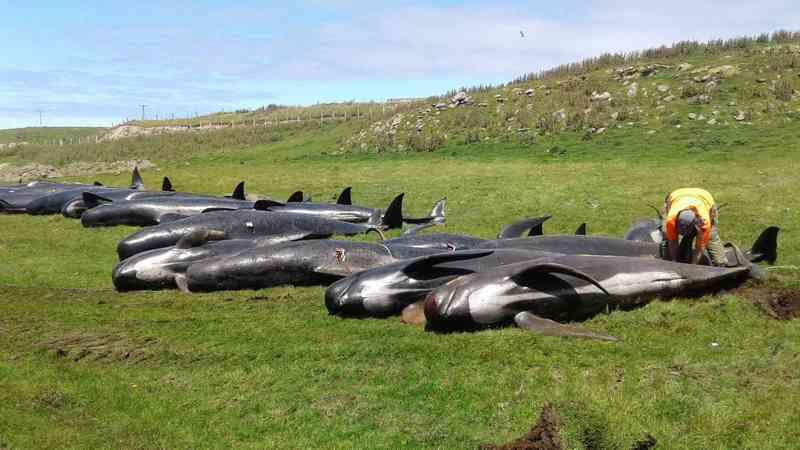 Dezenas de baleias encalham na Nova Zelândia pela 2ª vez em 6 dias