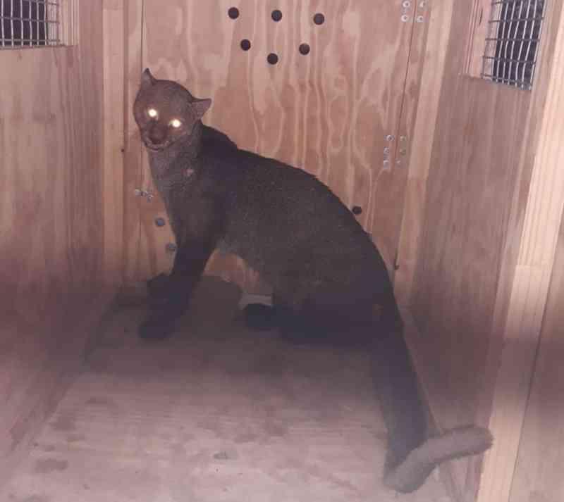 Gato-mourisco é resgatado após ser encontrado dentro de refinaria, em Barcarena, PA