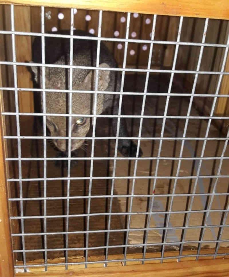 Gato-mourisco resgatado na Hydro Alunorte é levado para realizar exames na UFRA de Belém, PA