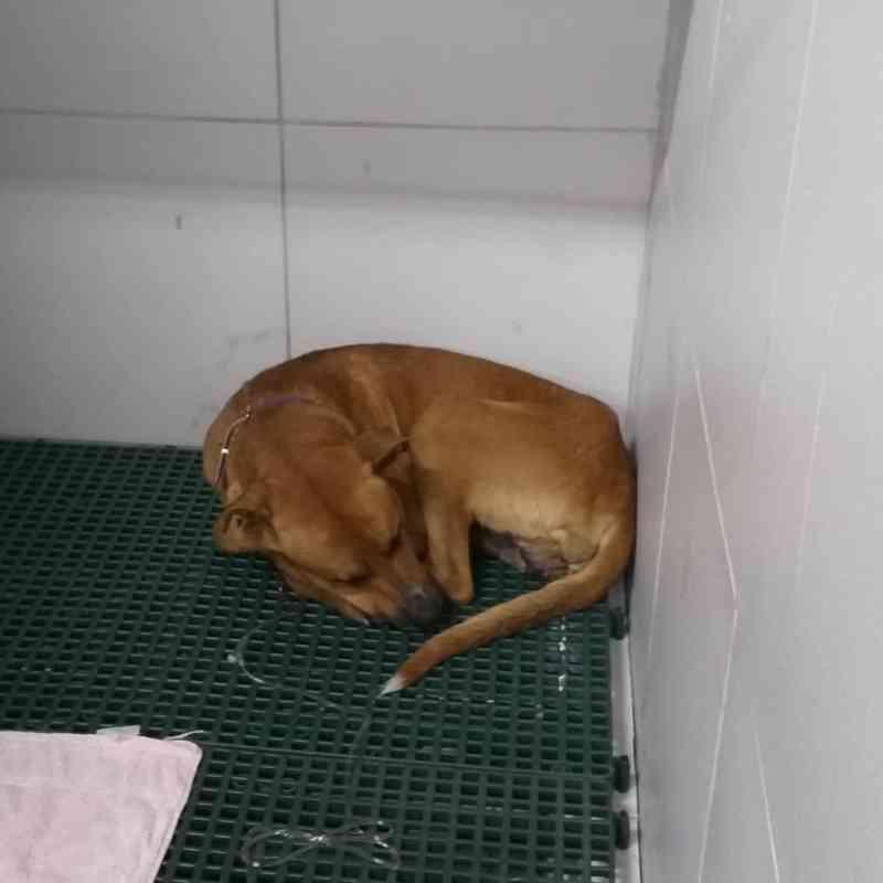Cão com órgão genital mutilado passa por cirurgia e usa sonda até que ferimento cicatrize, na PB