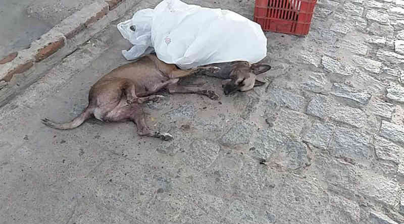 Três cachorros e um gato são envenenados no Bivar Olinto, em Patos, PB