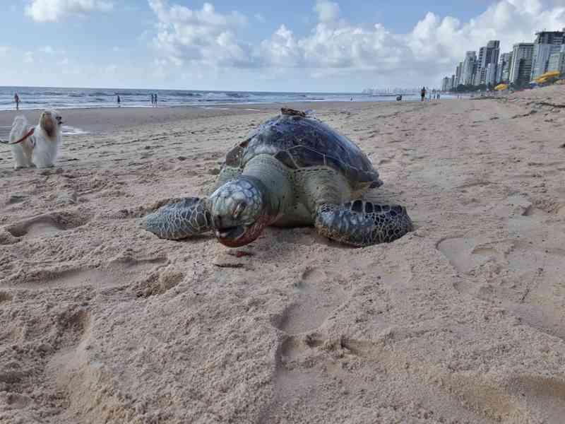 Tartaruga é encontrada morta na Praia de Boa Viagem, no Recife