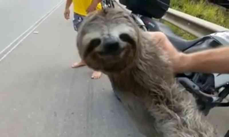 Preguiça é resgatada enquanto tentava atravessar rodovia no Grande Recife