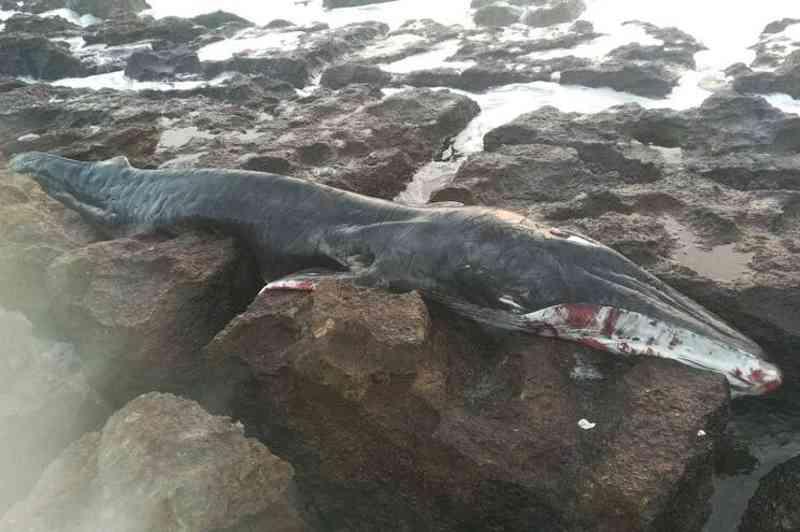 Baleia bebé encontrada morta em São Pedro do Estoril, em Portugal