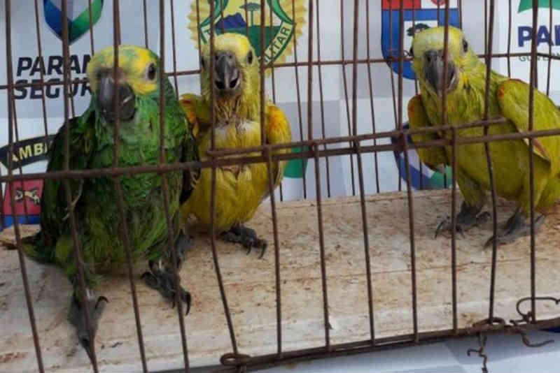 Polícia Ambiental apreende papagaios em residência de Alto Piquiri, PR