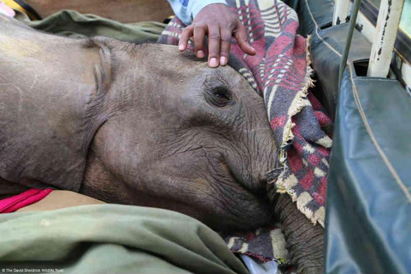Linda foto captura o momento em que uma elefanta órfã ferida reconhece que está segura e não precisa mais fugir