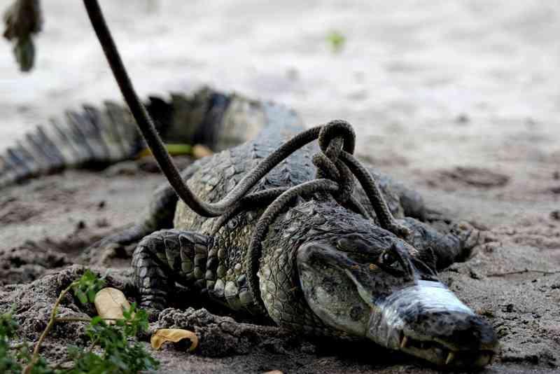 Jacaré-do-papo-amarelo é encontrado na beira de uma pista em Macaé, no RJ