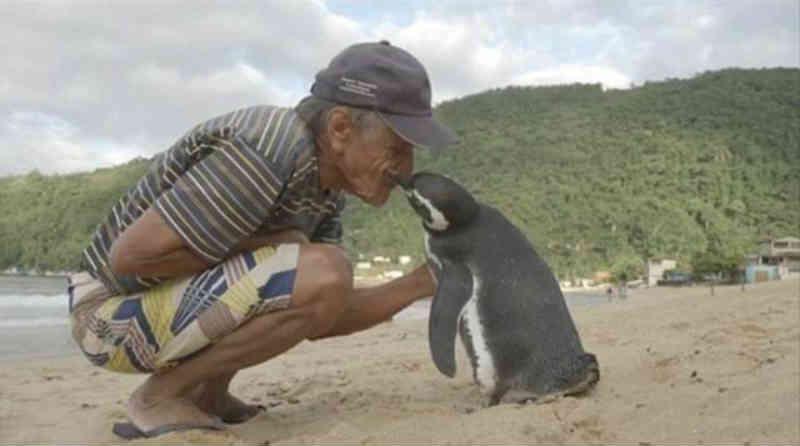 Pinguim viaja todos os anos para o RJ para agradecer brasileiro que salvou sua vida