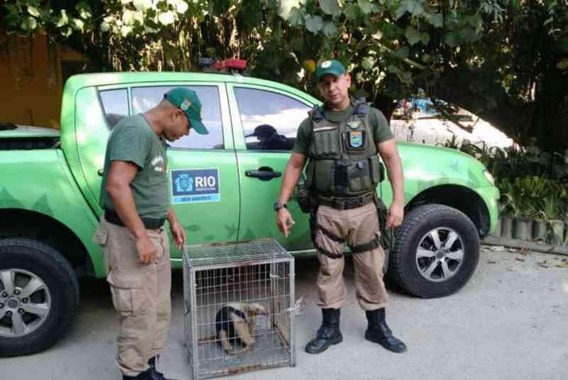 Patrulha Ambiental resgata tamanduá-mirim em Guaratiba, no Rio